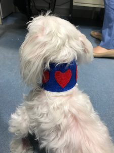 A dog facing away from the camera, wearing a bandage with a heart
