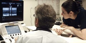 An echocardiogram being performed on a cat
