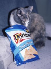 a white and grey cat sniffing an opened bag of cool ranch Doritos