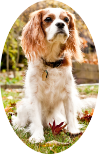 A Cavalier King Charles Spaniel sitting outside on the grass with leaves