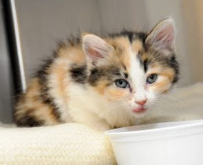 A kitten eating food