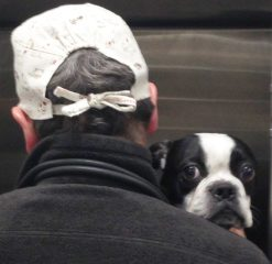 A Boston Terrier peeks over the shoulder of the veterinarian who is examining him.
