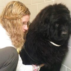 A veterinarian listens to a Newfoundland's heart with a stethoscope
