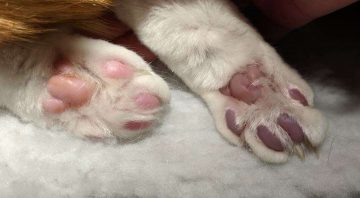 A picture of cat paws; one is normal and pink while the other is blue