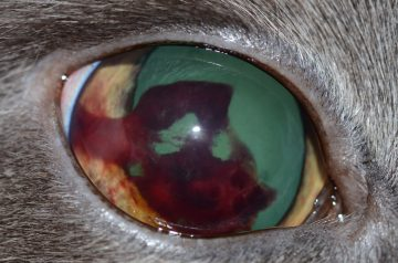 An image of a cat's eye with hemorrhage