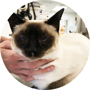 A Siamese cat sitting on a table being held by a veterinary technician