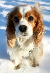 A Cavalier King Charles Spaniel sitting in the snow