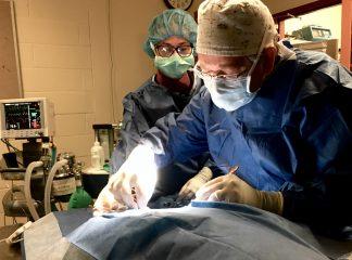 A veterinary cardiologist performs cardiac catheterization on a dog