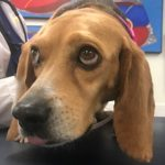 A beagle that previously had heartworm disease, looking nervous