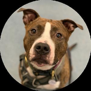 A pitbull looking up at the camera