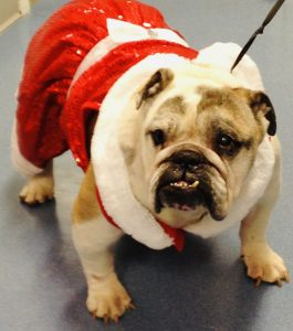 a bull dog wearing a red sparkly dress