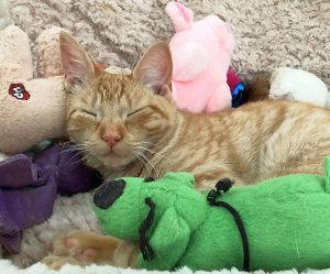 An orange cat sleeping with lots of toys