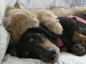 A sleeping cat laying on top of a dog