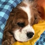 A cavalier sleeping under the covers