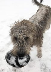 A Wolfhound holding a football in the snow