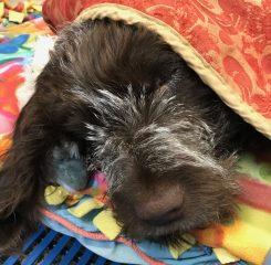 a dog sleeping under a blanket