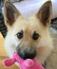 A young german shepherd holding a pink dog toy