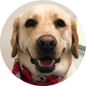 A yellow lab wearing a New England red Patriots bandana  around his neck
