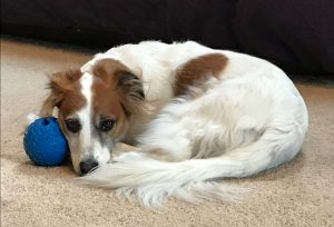 A dog curled up next to her ball