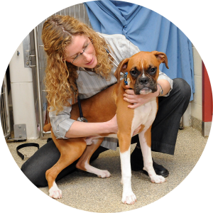 A veterinarian examing a young boxer