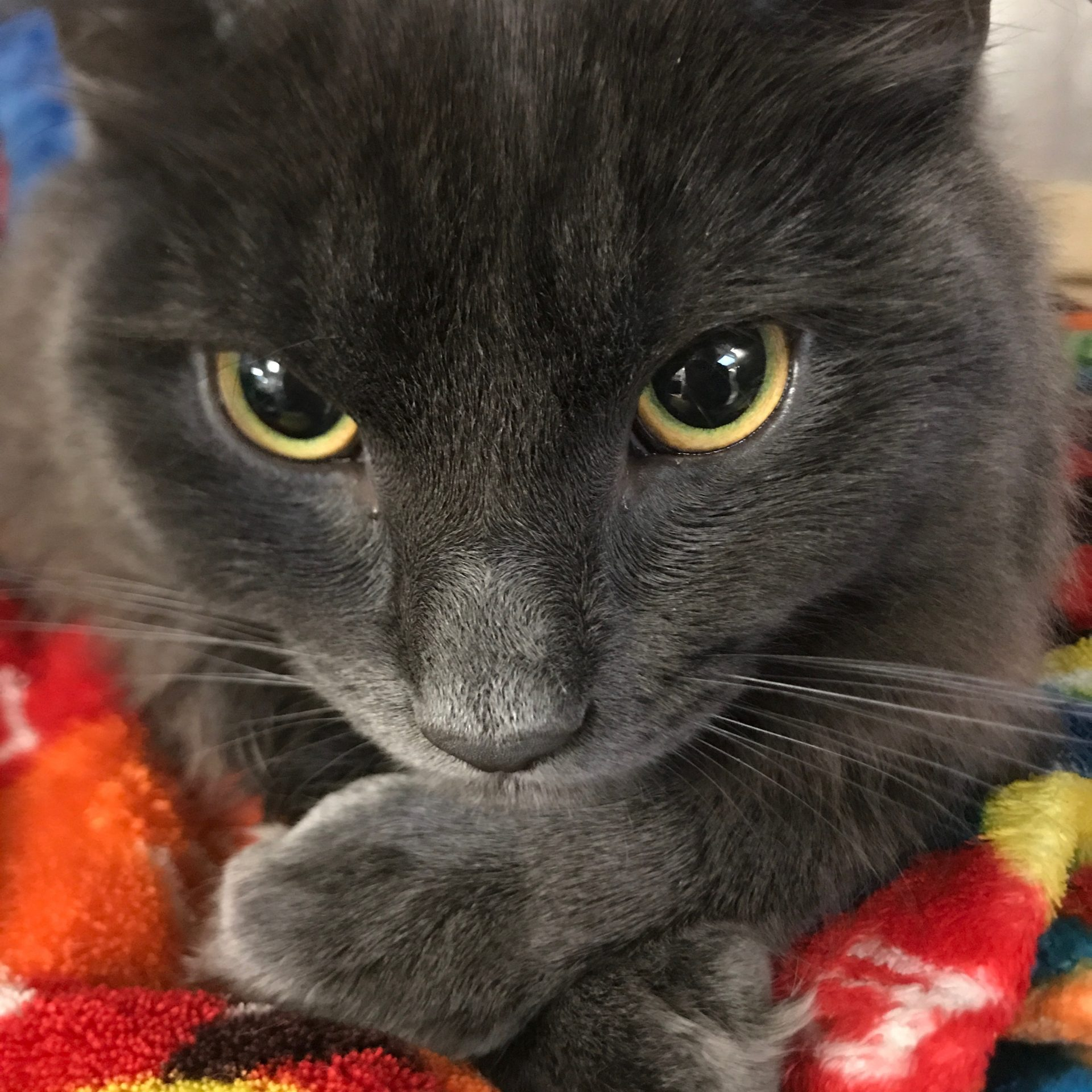 A cat sits with his paws crossed on a colorful blanket