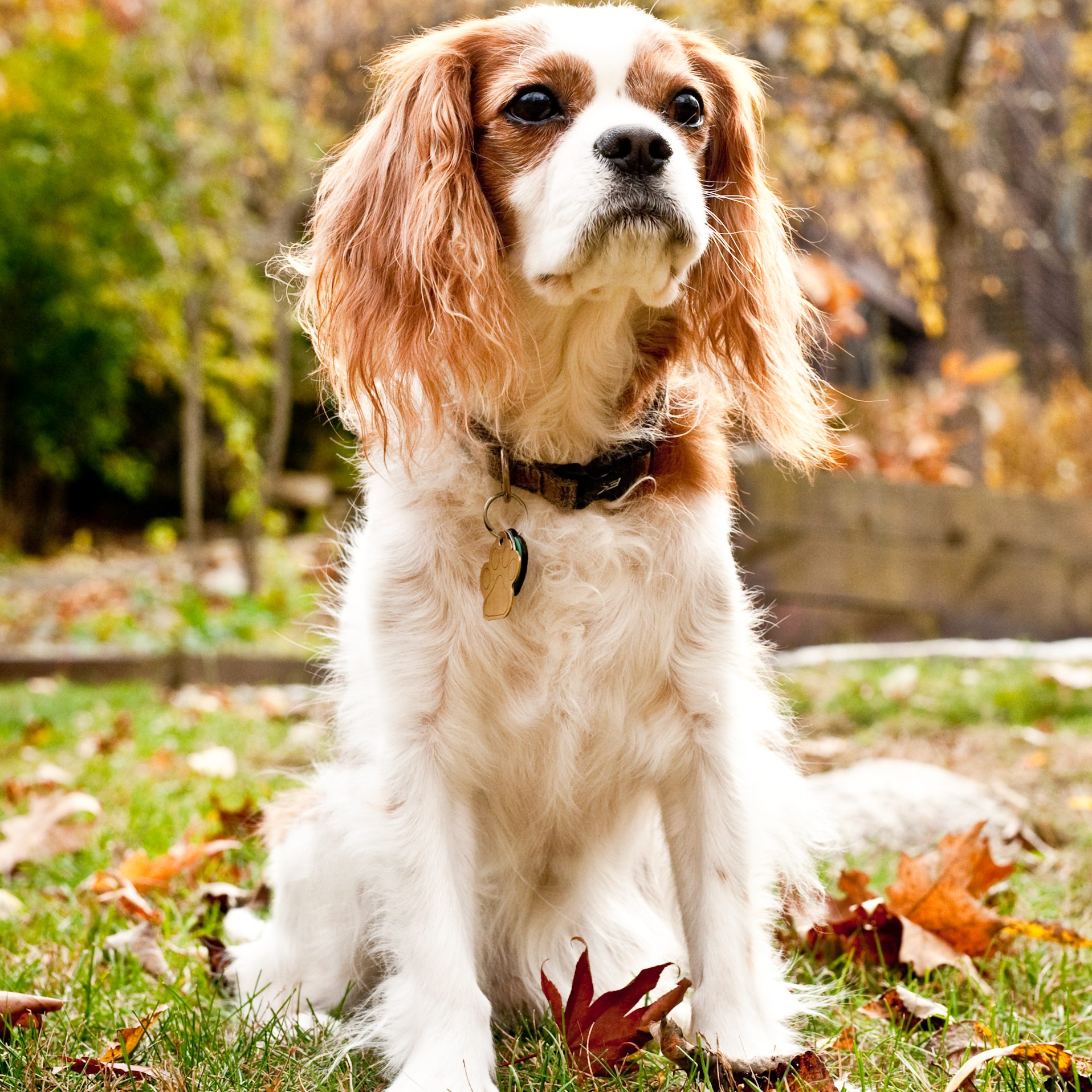 A Cavalier King Charles Spaniel sitting outside in the leaves