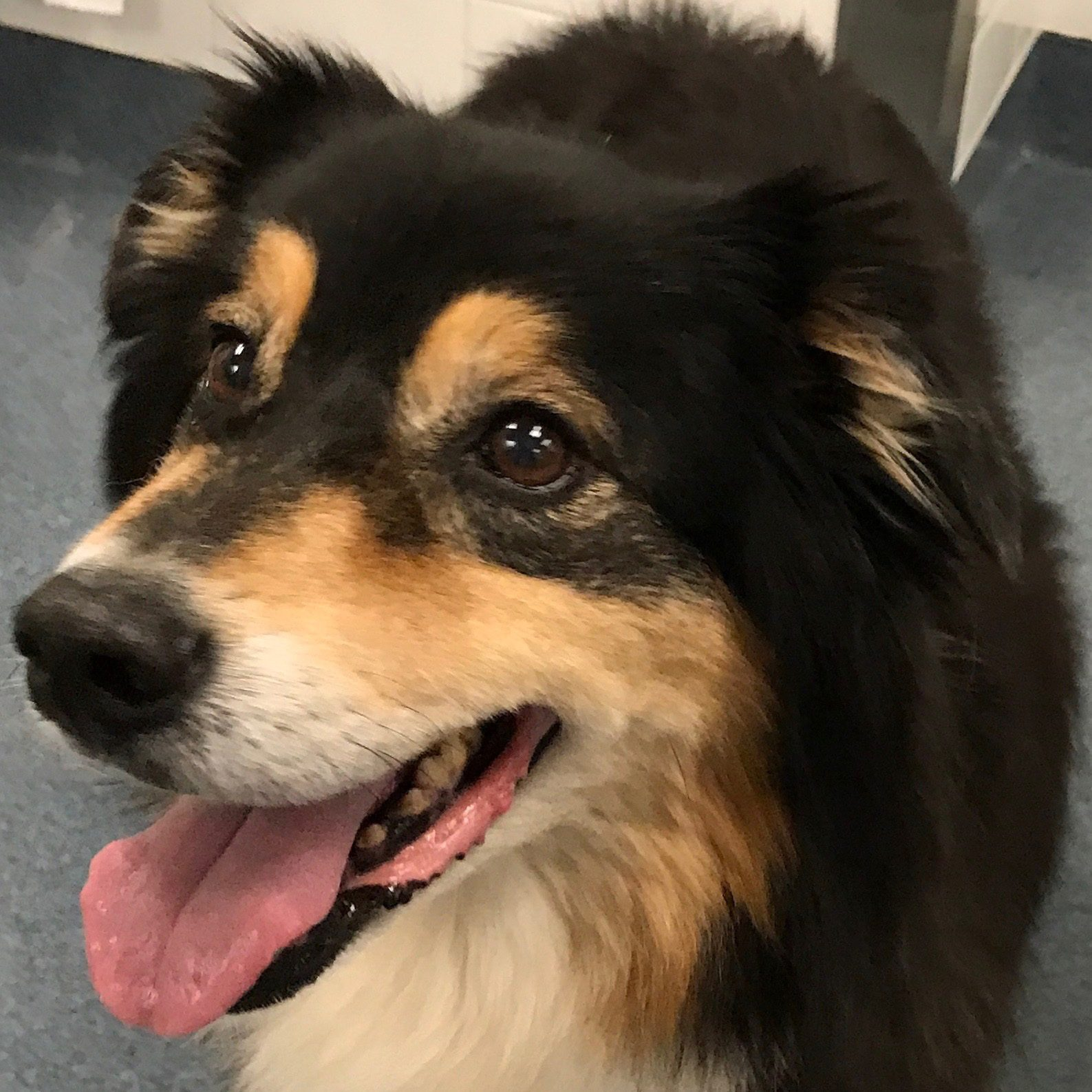 A dog with advanced heart disease that is still looking very happy