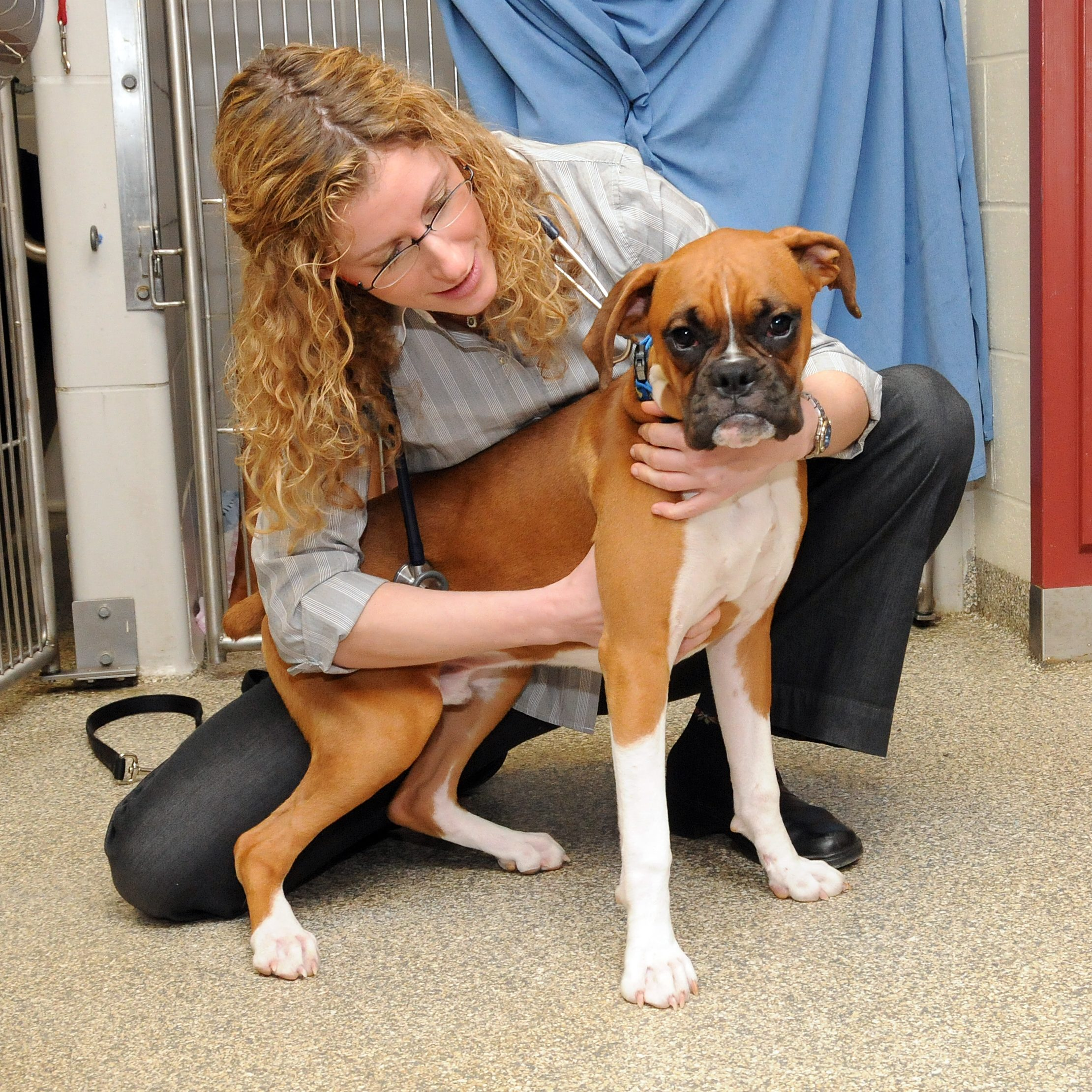 A veterinary cardiologist holding a Boxer dog on the floor